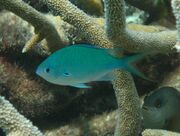 Black-axil-chromis-chromis-atripectoralis-damselfishes-pomacentridae 6591.jpg