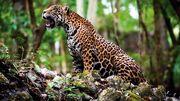 Mexican jaguar (Panthera onca hernandesii).jpg