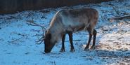 Milwaukee County Zoo Reindeer