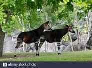 Okapi Bull and Cow