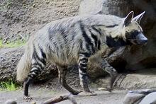 Striped hyena 2.jpg