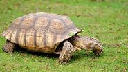 Animals hero african spurred tortoise