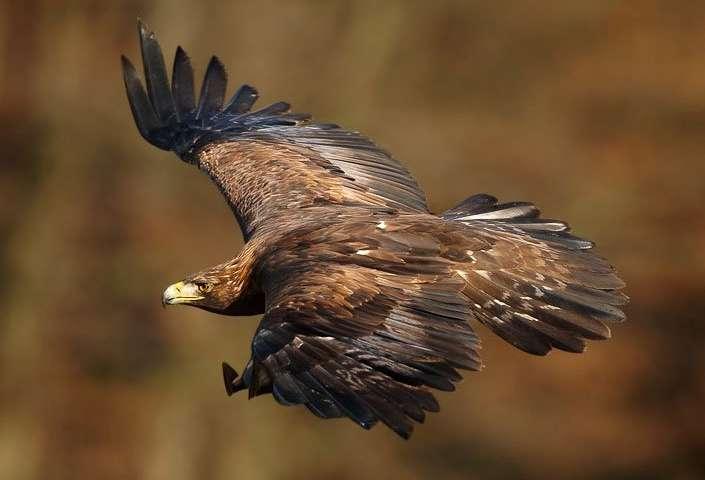 Asian Golden Eagle