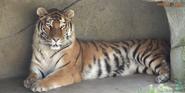 Columbus Zoo Tiger