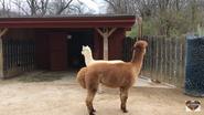 Dickerson Park Zoo Alpaca