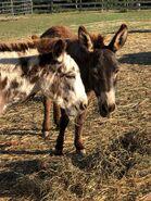 Donkey Jack and Jenny