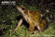 Frog, Common