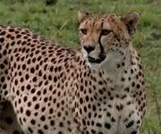 HugoSafari - Cheetah01.jpg