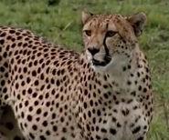 HugoSafari - Cheetah01