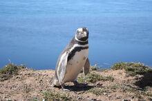 Magellanic penguin.jpg