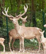 Male and female Bactrian deer