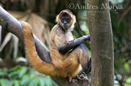 Monkey, Geoffroy's Spider