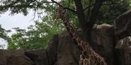 Phelidelphia Zoo Reticulated Giraffe