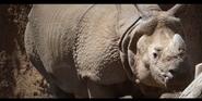 San Diego Zoo Indian Rhino