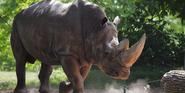 Toledo Zoo White Rhinoceros