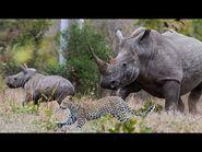 Wild Animal Attack (Cheetah vs Rhinoceros)