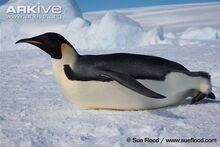 Adult-emperor-penguin-tobogganing.jpg
