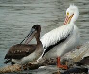 American White Pelican and Brown Pelican