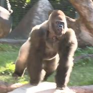 Audubon Zoo Gorilla