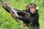 Chimpanzee, Western