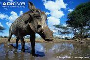 Common-warthog