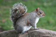 Eastern Grey Squirrel (V2)