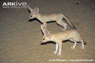 Fennec-fox-juveniles