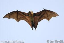 Flying Fox, Indian.jpg