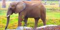 Fresno Zoo African Bush Elephant