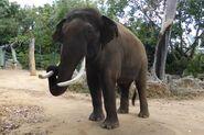 Sumatran Elephant Bull