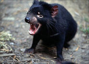 Tasmanian-Devil-Images