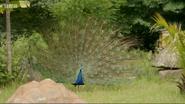 The Zoo Peacock