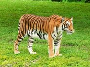 Tiger (Animals)