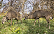 White-Tailed Deer Buck and Doe