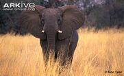African-elephant-