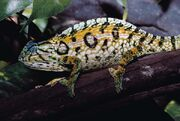 Chameleon, carpet.jpg