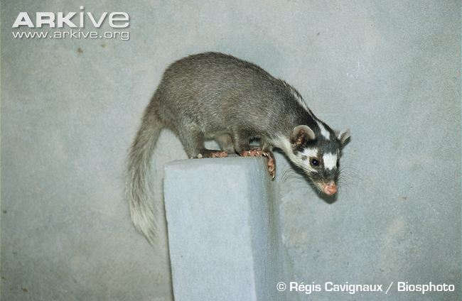 Chinese Ferret-Badger