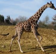 Clochester Zoo Giraffe