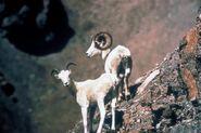 Dall's Sheep (Ovis dalli)