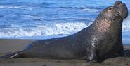 Elephant seal, northern