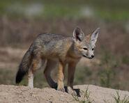 Fox, Kit