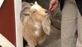 Greenville Zoo Goat