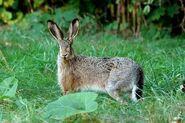 Hare, European