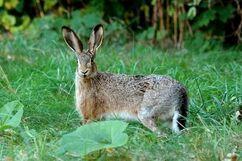 Hare, European.jpg