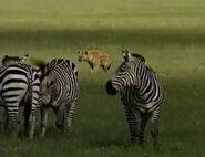 HugoSafari - Hyena&Zebra