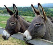 Male and Female Domestic Donkeys