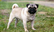 Pug Dog Breed.jpg