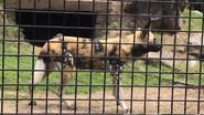 Rolling Hills Zoo Wild Dog