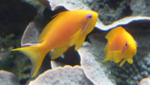 Sea Goldie