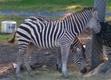 Seneca Park Zoo Zebra png